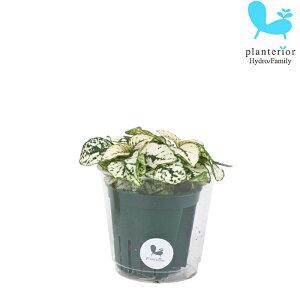 観葉植物 ハイドロカルチャー 苗 ヒポエステス ホワイト Mサイズ 6パイ 2寸