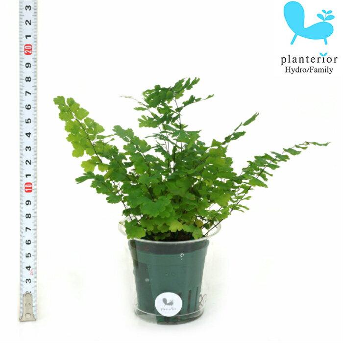 観葉植物 ハイドロカルチャー 苗 アジアンタム Mサイズ 6パイ 2寸