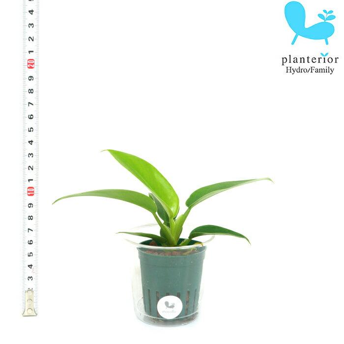 観葉植物 ハイドロカルチャー 苗 フィロデンドロン インペリアルグリーン Mサイズ 6パイ 2寸