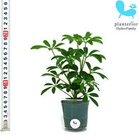 観葉植物 ハイドロカルチャー 苗 シェフレラ コンパクタ Mサイズ 6パイ 2寸