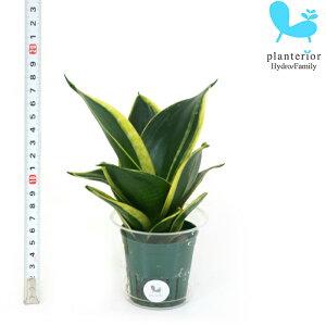 観葉植物 ハイドロカルチャー 苗 サンスベリア ハニーボニー Mサイズ 6パイ 2寸
