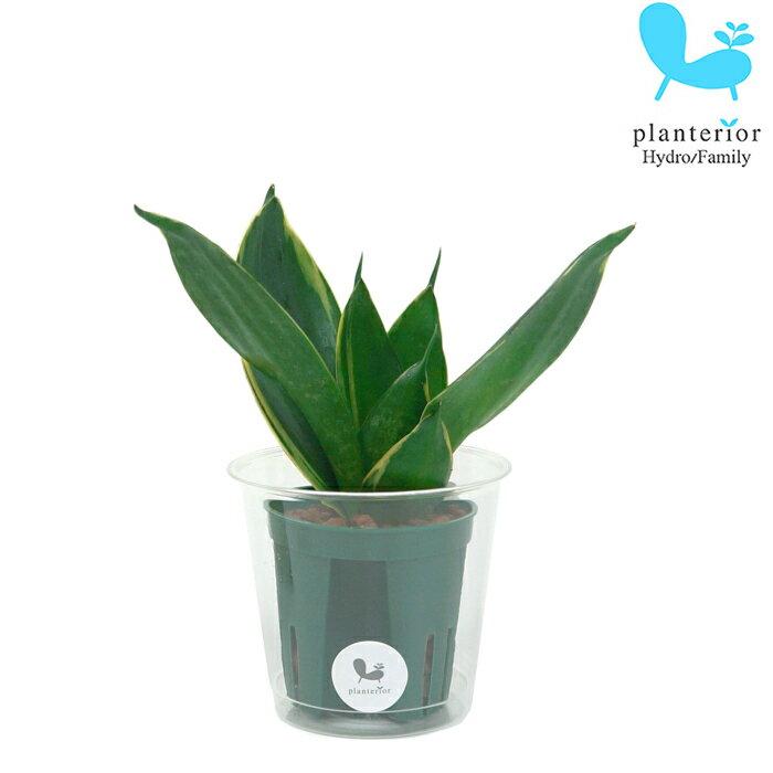 観葉植物 ハイドロカルチャー 苗 サンスベリア イエローマージン Mサイズ 6パイ 2寸