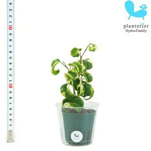 観葉植物 ハイドロカルチャー 苗 フィカス ベンジャミナ バロック Mサイズ 6パイ 2寸