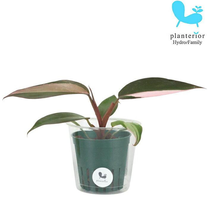 観葉植物 ハイドロカルチャー 苗 フィロデンドロン ピンクプリンセス Mサイズ 6パイ 2寸