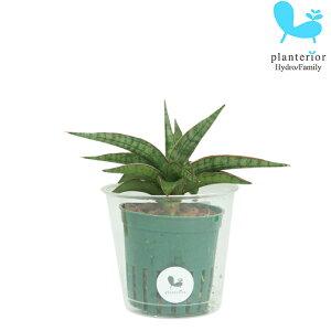 観葉植物 ハイドロカルチャー 苗 サンスベリア シルバーニンファ Mサイズ 6パイ 2寸