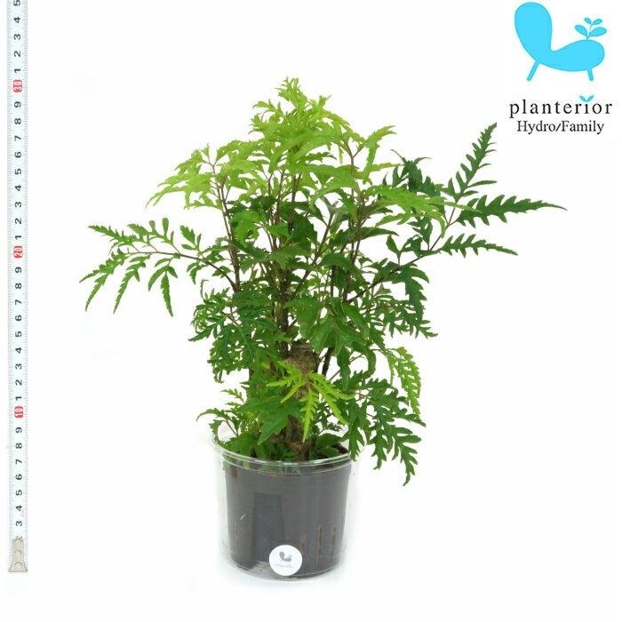 観葉植物 ハイドロカルチャー 苗 ポリシャス フィリシフォリア Lサイズ 9パイ 3寸