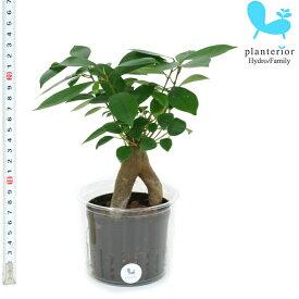 観葉植物 ハイドロカルチャー 苗 ガジュマル Lサイズ 9パイ 3寸