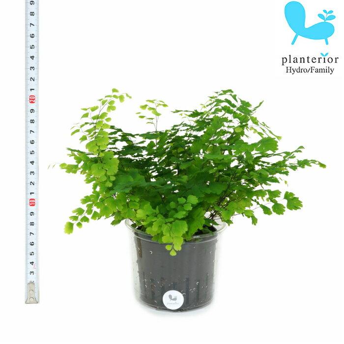 観葉植物 ハイドロカルチャー 苗 アジアンタム Lサイズ 9パイ 3寸