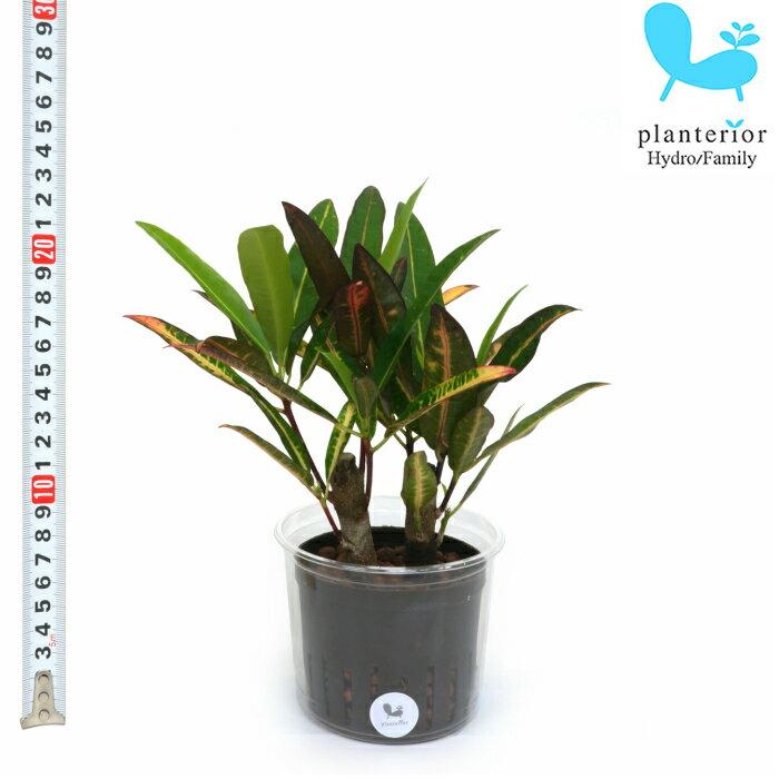 観葉植物 ハイドロカルチャー 苗 クロトン エクセレント Lサイズ 9パイ 3寸