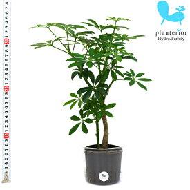 観葉植物 ハイドロカルチャー 苗 シェフレラ コンパクタ Lサイズ 9パイ 3寸
