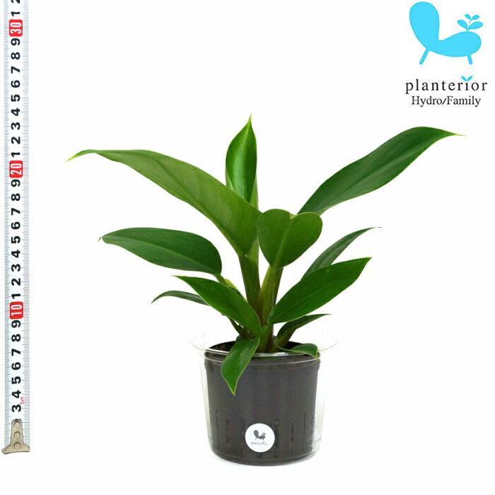 観葉植物 ハイドロカルチャー 苗 フィロデンドロン インペリアルグリーン Lサイズ 9パイ 3寸