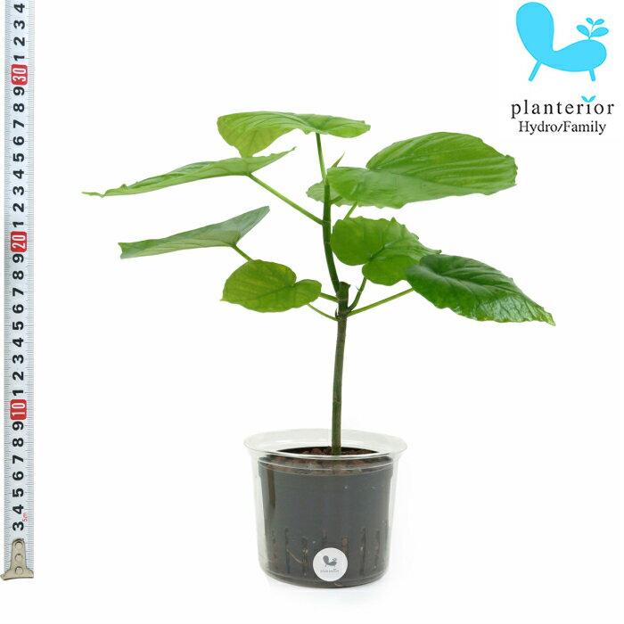 観葉植物 ハイドロカルチャー 苗 ウンベラータ Lサイズ 9パイ 3寸
