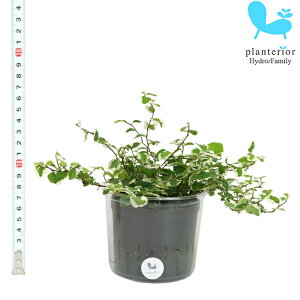 観葉植物 ハイドロカルチャー 苗 プミラ サニーホワイト Lサイズ 9パイ 3寸
