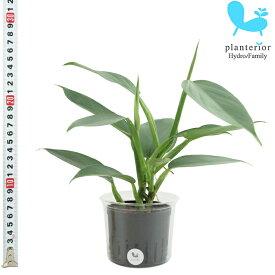 観葉植物 ハイドロカルチャー 苗 フィロデンドロン シルバーメタル Lサイズ 9パイ 3寸