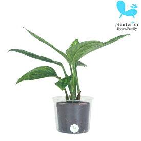 観葉植物 ハイドロカルチャー 苗 モンステラ ジェイド シャトルコック Lサイズ 9パイ 3寸