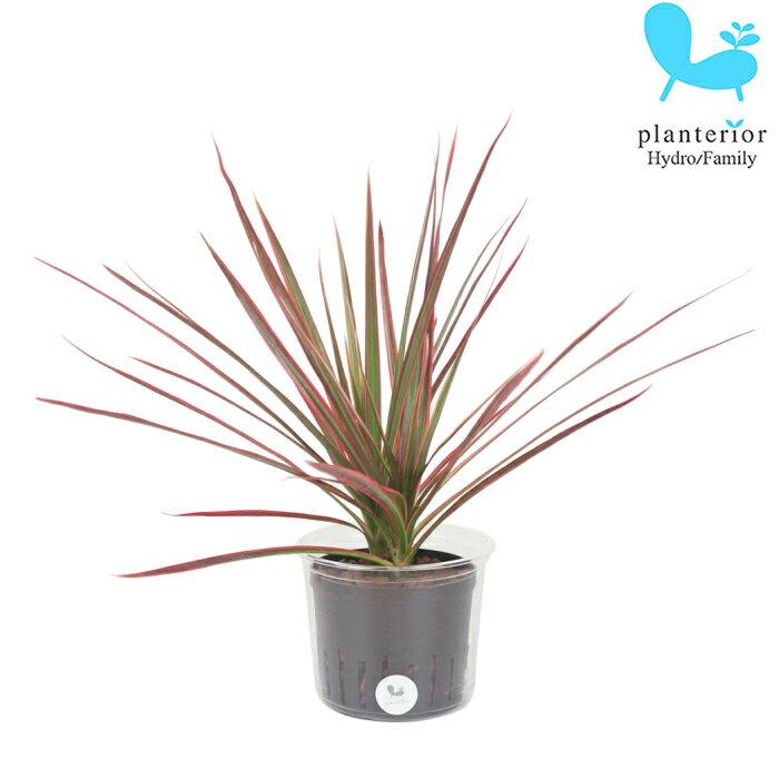 観葉植物 ハイドロカルチャー 苗 コンシンネ レインボー Lサイズ 9パイ 3寸