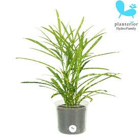 観葉植物 ハイドロカルチャー 苗 クロトン リュウセイ Lサイズ 9パイ 3寸