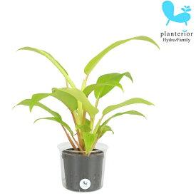 観葉植物 ハイドロカルチャー 苗 フィロデンドロン マレービューティー Lサイズ 9パイ 3寸