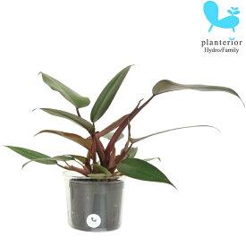 観葉植物 ハイドロカルチャー フィロデンドロン ピンクプリンセス Lサイズ 9パイ 3寸