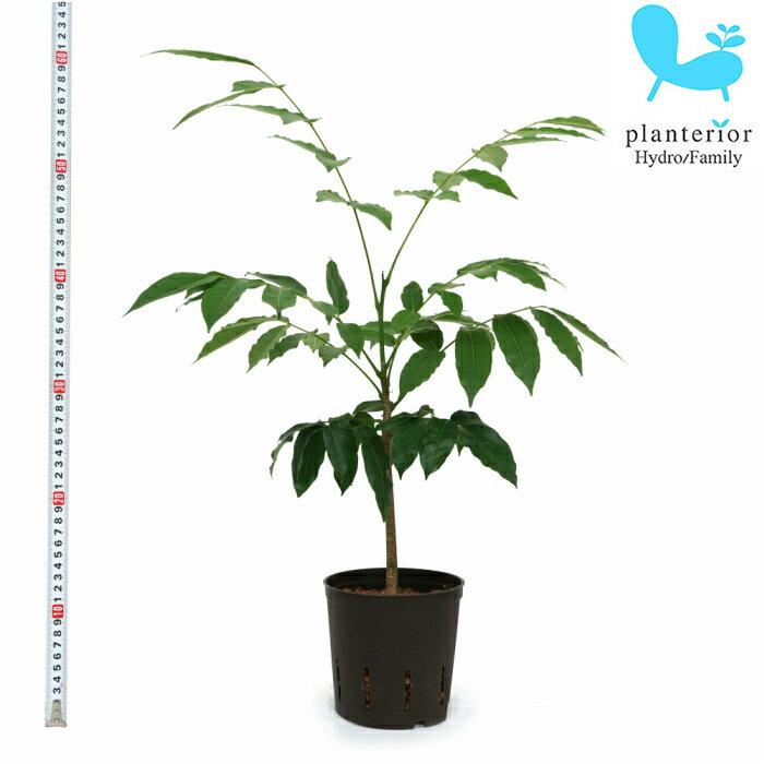観葉植物 ハイドロカルチャー 苗 マメノキ 13パイ