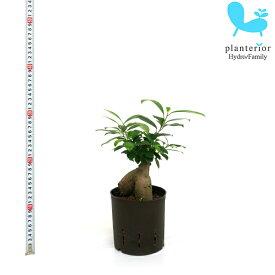 観葉植物 ハイドロカルチャー 苗 ガジュマル 13パイ