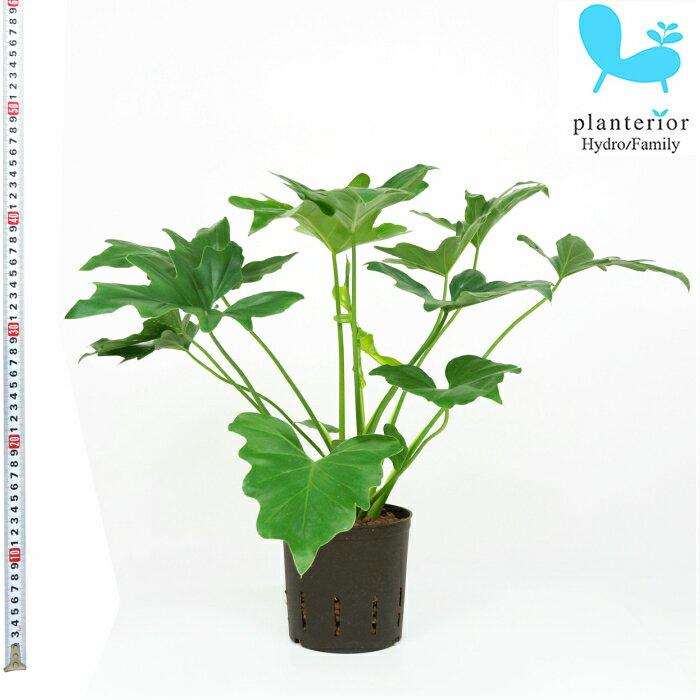 観葉植物 ハイドロカルチャー 苗 フィロデンドロン セローム 13パイ