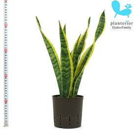 観葉植物 ハイドロカルチャー 苗 サンスベリア ローレンチー 13パイ
