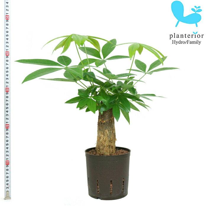 観葉植物 ハイドロカルチャー 苗 パキラ 13パイ