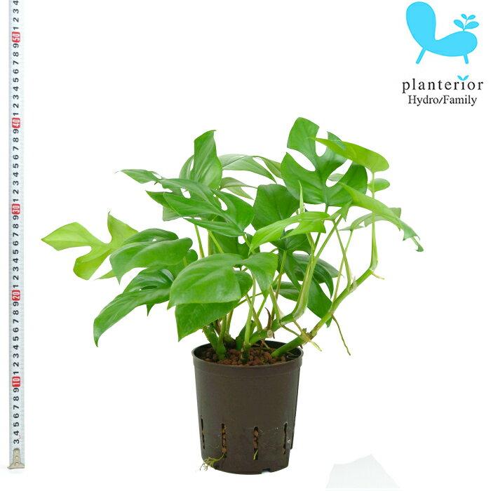 観葉植物 ハイドロカルチャー 苗 ヒメモンステラ 13パイ