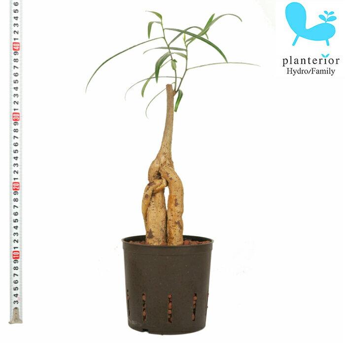 観葉植物 ハイドロカルチャー 苗 ブラキキトン ルペストリス ( オーストラリアン バオバブ ) 13パイ