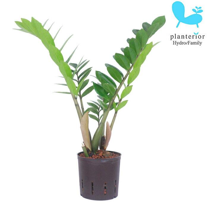 観葉植物 ハイドロカルチャー 苗 ザミオクルカス 13パイ