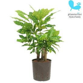 観葉植物 ハイドロカルチャー 苗 クロトン アキュビフォーリア 13パイ