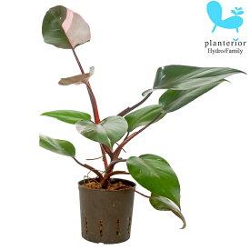 観葉植物 ハイドロカルチャー 苗 フィロデンドロン ピンクプリンセス 13パイ