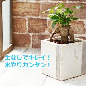 ガジュマル 多幸の木 水やり簡単! ハイドロカルチャー 水位計つき 和風なWABI陶器鉢セット