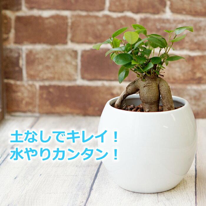 ガジュマル 多幸の木 水やり簡単! ハイドロカルチャー 水位計つき ピュアボウルLL陶器鉢セット