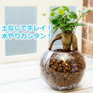 ガジュマル 多幸の木 水やり簡単! ハイドロカルチャー フローラボールS(120)セット