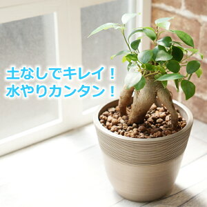 ガジュマル 観葉植物 ハイドロカルチャー 鉢色が選べる ストーンウッドポットL (水位計付き)