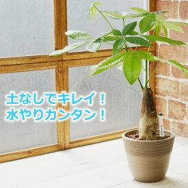 パキラ 観葉植物 ハイドロカルチャー 鉢色が選べる ストーンウッドポットL (水位計付き)