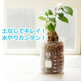ガジュマル 水やり簡単! ハイドロカルチャー メジャーリングビーカーM 観葉植物セット
