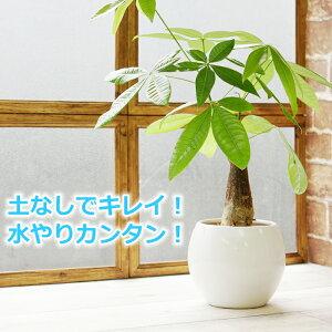 パキラ 送料込み 水やり簡単! ハイドロカルチャー 水位計つき ピュアボウルLL陶器鉢セット