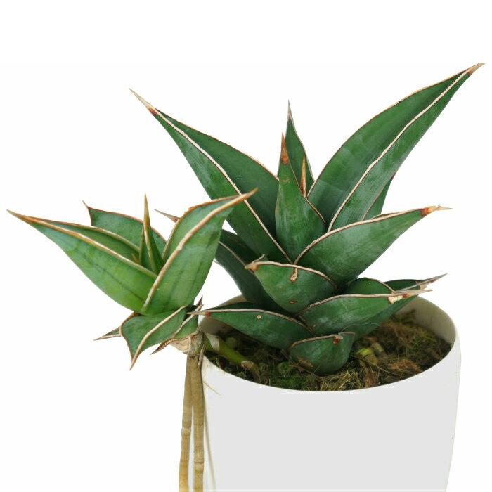 サンスベリア ピングイキュラ 4寸 レア ビザール 観葉植物 土植え
