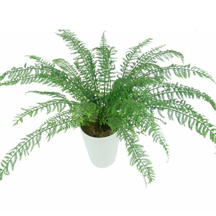 アスプレニウム ツンベルギー プラスチックファーン 7寸 レア ビザール 観葉植物 土植え