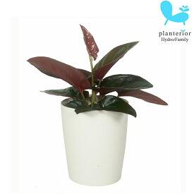 シンゴニウム ピンクチョコレート 3.5寸 レア 観葉植物 土植え