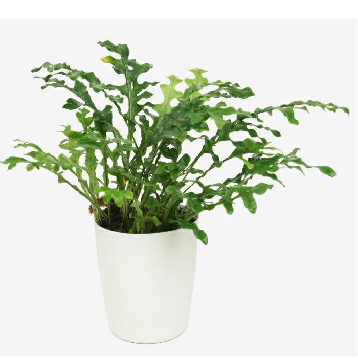 ドリナリア クエルシフォリア 4寸 レア ビザール 観葉植物 土植え