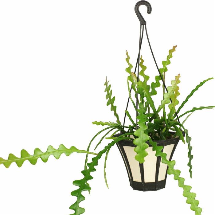 ジグザグ サボテン 5寸 フィッシュボーン カクタス レア ビザール 観葉植物 土植え