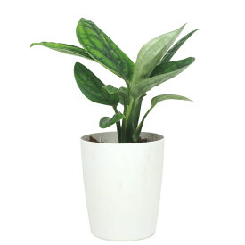モンステラ ジェイド シャトルコック 3寸 レア ビザール 観葉植物 土植え