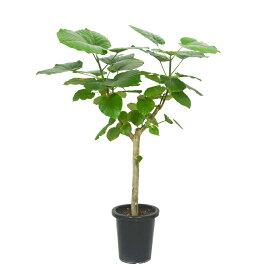 フィカス ウンベラータ 8号 レア 観葉植物 土植え