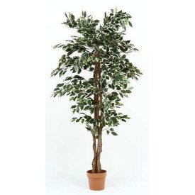 不二貿易 観葉植物 フィカス 1124 B 19844 FJ-52664