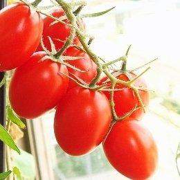在来種/固定種/野菜のタネ「なつのこまミニトマト0.3m約30粒」畑懐〔はふう〕の種【メール便可】
