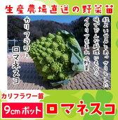 【生産農場直送】カリフラワー苗ロマネスコ実生苗9cmポット